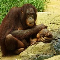 Zärtliche Orang Utan Mutter mit ihrem Baby von Sabine Radtke