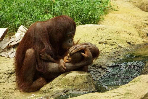 Oranguntanmutterkindzoorostockkuss