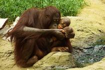 Liebevolle Orang Utan Mutter mit Baby 1 von Sabine Radtke