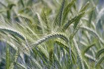 Getreide im frühen Sommer auf dem Feld von Werner Meidinger