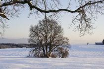 Eiche im Winter auf verschneitem Feld von Werner Meidinger