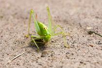 Grasshopper by frederic