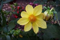 Bud and flower by feiermar