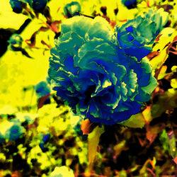 Blaue-rose-aquarell