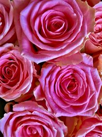 Pink roses by giart1