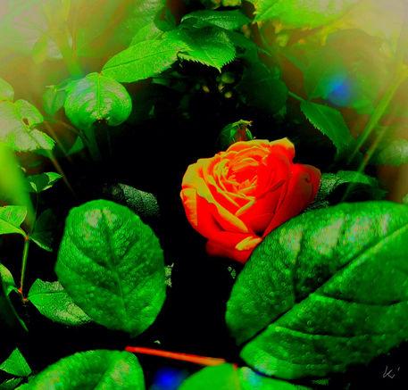 Versteckte-rose