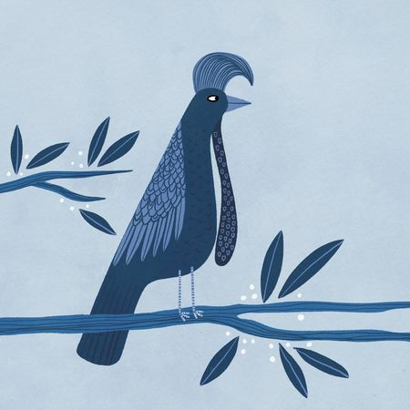 Umbrella-bird