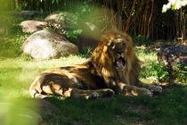 Liegender Löwe beobachtet dich von Sabine Radtke