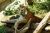Sibirischer Tiger, sehr entspannt by Sabine Radtke