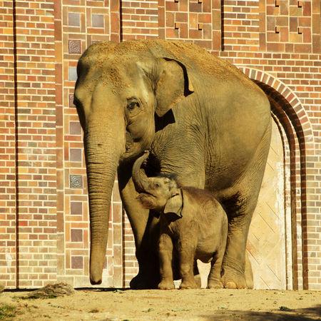 Indischerelefantmutterkindzooleipzig
