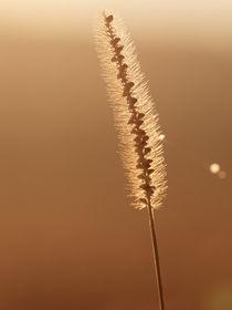 Grashalm mit goldenen Verlauf des Sonnenaufgang mit Spinnennetz Reflektion auf rechter Seite by Christian Mueller
