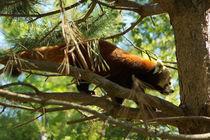 Roter Panda auf einem Baum by Sabine Radtke