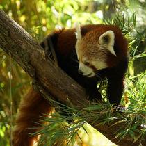 Kleiner Panda blickt sich um by Sabine Radtke