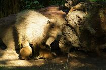 Capybara-Mama säugt ihre Jungen von Sabine Radtke