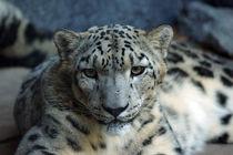 Blick des Schneeleoparden von Sabine Radtke