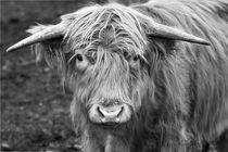Schottisches Hochlandrind Porträtaufnahme von Christian Mueller