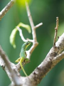 Caribbean Lizard by cinema4design