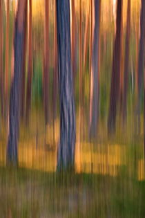 Pine tree trunks at sunset - blurredPine tree trunks at sunset - blurred von Intensivelight Panorama-Edition