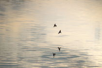 Two swallows are reflected in the  rippled water of a smooth lake von Intensivelight Panorama-Edition
