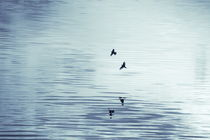 Two swallows are reflected in the  rippled water of a smooth lake - duotone by Intensivelight Panorama-Edition