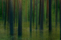 Mysterious pine forest on a summer evening by Intensivelight Panorama-Edition