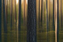 Pine tree trunks on a summer evening von Intensivelight Panorama-Edition