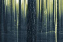 Pine tree trunks on a summer evening - duotone by Intensivelight Panorama-Edition