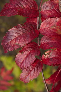 Bright red rowan tree leaflets by Intensivelight Panorama-Edition