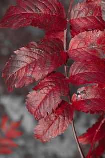 Bright red rowan tree leaflets - duotone by Intensivelight Panorama-Edition