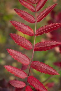 In autumn the leaves of a rowan tree have turned red by Intensivelight Panorama-Edition