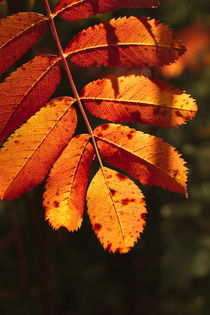 Vibrant colored rowan tree leaf in autumn by Intensivelight Panorama-Edition