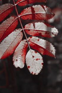 Rowan tree leaf in fall - duotone by Intensivelight Panorama-Edition