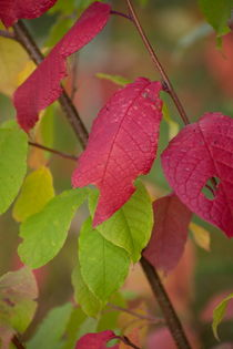 Fragile red leaves on an autumn colored shrub  von Intensivelight Panorama-Edition
