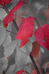 Fragile red leaves on an autumn colored shrub - duotone by Intensivelight Panorama-Edition