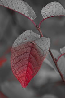 Leaf turning red where it is creased - duotone by Intensivelight Panorama-Edition