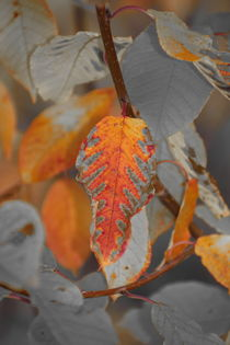 Vibrant colored autumn leaves - duotone by Intensivelight Panorama-Edition