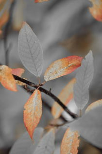Orange colored autumn leaves - duotone von Intensivelight Panorama-Edition