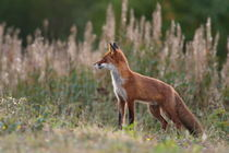 Portrait of a red fox standing in aflowery meadow by Intensivelight Panorama-Edition