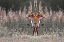 Portrait of a two-headed fox von Intensivelight Panorama-Edition