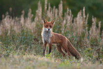Portrait of a red fox looking into the camera von Intensivelight Panorama-Edition