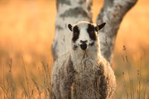 Portrait of a sheep looking into the camera at sunset von Intensivelight Panorama-Edition