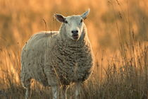 Fluffy sheep looking into the camera on a meadow at sunset von Intensivelight Panorama-Edition
