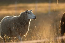 Sheep standing at the fence of its meadow at sunset by Intensivelight Panorama-Edition