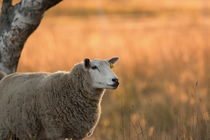 A fluffy sheep is standing on a pasture at sunset by Intensivelight Panorama-Edition