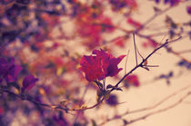 Evening Bougainvillea by cinema4design