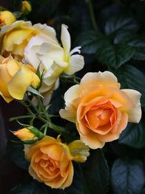 Edle Rosen in Orange by gscheffbuch