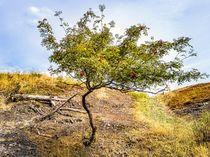 Vogelbeerbaum oder Eberesche, Sorbus aucuparia von ullrichg