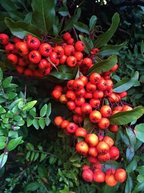 Pyracantha by giart1
