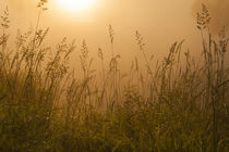 Snohomish Valley sunrise in fog with tall grass von Jim Corwin