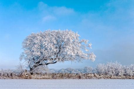 Winterliche-hainbuche